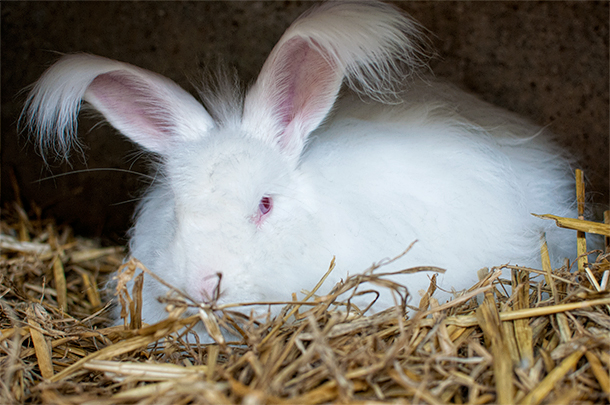 The angora rabbits have cute furry ears