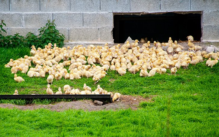 Baby ducks at La Fraserie, Foie Gras Farm France Passion stop