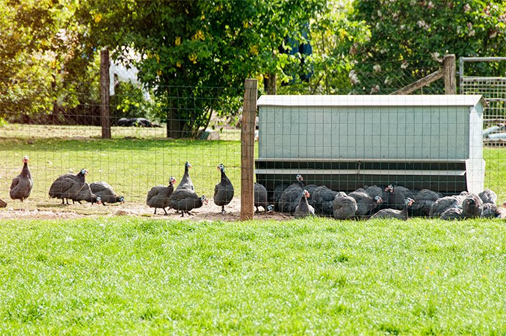 Free-range guinea fowl at our France Passion motorhome stay