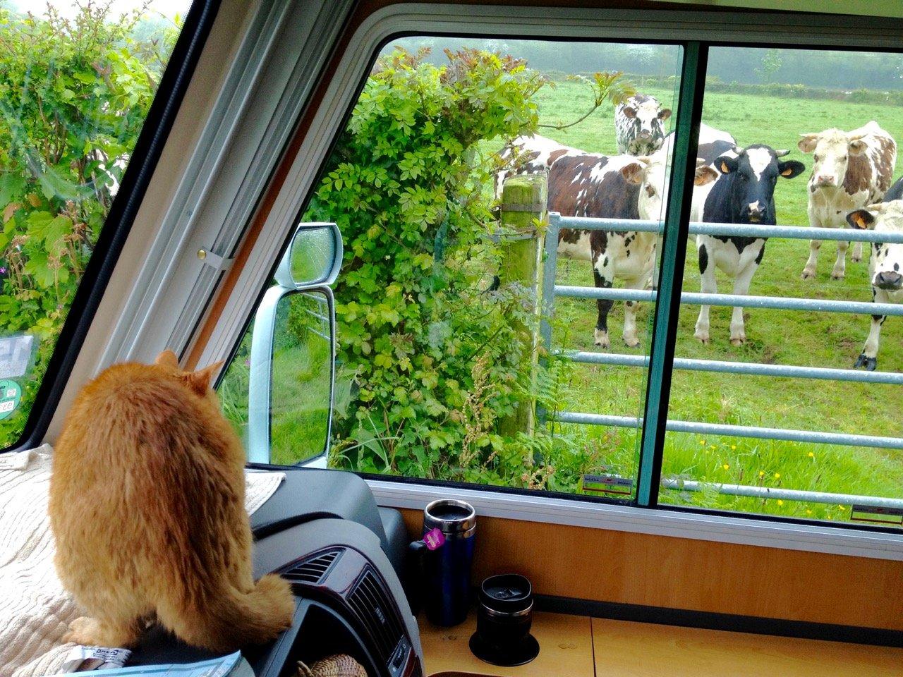 Cows are evil!