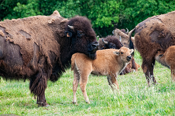 Elevage Bison de Poitou, Bison Farm