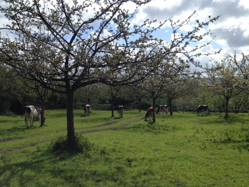 Cows in the orchard.